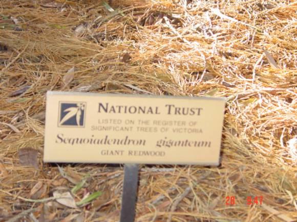T11586 Sequoiadendron giganteum