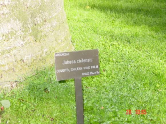 T11590 Jubaea chilensis