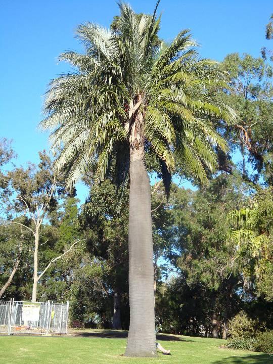 T11909 Jubaea chilensis Melbourne