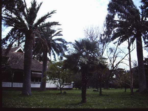 T11813 Jubaea chilensis