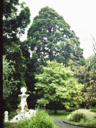 T11586 Sequoiadendrum giganteum