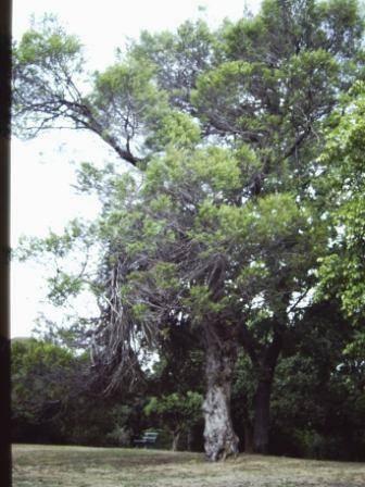 T11496 Hesperocyparis forbesii