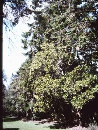 T11600 Araucaria bidwilli